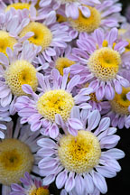 Lullaby (anemone).  Chrysanthemum (Dendranthema). - Photo #2123