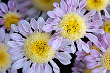 Lullaby (anemone).  Chrysanthemum (Dendranthema). - Photo #2127