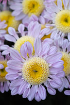 Lullaby (anemone).  Chrysanthemum (Dendranthema). - Photo #2126