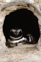 Magellanic Penguin in burrow. Spheniscus magellanicus. - Photo #2474