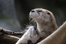 North American River Otter. Lutra canadensis. Male and female. - Photo #2500