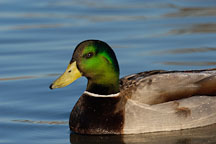 Male mallard, Anas platyrhynchos. Palo Alto Baylands Nature Preserve, California. - Photo #2309