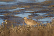 Long-billed curlew, Numenius americanus. Palo Alto Baylands Nature Preserve, California. - Photo #2543
