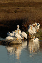 American white pelicans,  Pelecanus erythrorhynchos. Palo Alto Baylands Nature Preserve, California. - Photo #2260