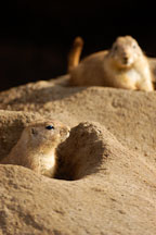 Black-tailed Prairie Dog coming out of his burrow. Cynomys ludovicianus. - Photo #2525