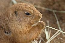 Black-tailed Prairie dog eating grass. Cynomys ludovicianus. - Photo #2528