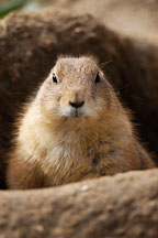 Black-tailed Prairie Dog sitting in its burrow entrance. Cynomys ludovicianus. - Photo #2522