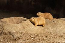 Black-tailed Prairie Dog, Cynomys ludovicianus. - Photo #2530