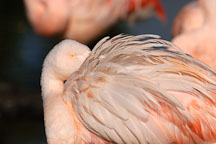 Grooming Chilean Flamingo, Phoenicopterus chilensis. Pink flamingo. - Photo #2463