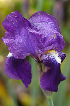 Purple Iris (rhizomatous and bearded). - Photo #2353