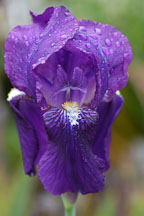 Purple Iris (rhizomatous and bearded). - Photo #2354
