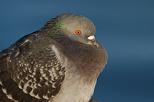 Rock Dove, Rock 'Pigeon'.  Columba livia. Palo Alto Baylands, California. - Photo #2301