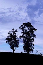Silhouette of two trees. Arastradero Preserve. Palo Alto, California, USA. - Photo #2892