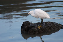 Snowy Egret, Egretta thula. Palo Alto Baylands Nature Preserve, California. - Photo #2437