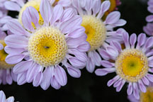Lullaby (anemone).  Chrysanthemum (Dendranthema). - Photo #2125