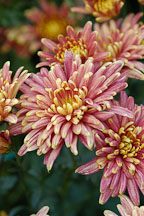 Yodogimi (single & semi-double).  Chrysanthemum (Dendranthema). - Photo #2122