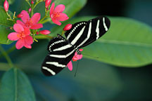 Zebra longwing. Heliconius charitonia. - Photo #2402