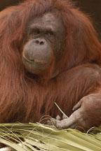 Orangutan, Bornean. Pongo pygmaeus pygmaeus - Photo #5404