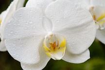 Phalaenopsis. Orchid. Orchidaceae. - Photo #3504