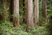 Redwoods in Jedediah Smith Redwood State Park. California. - Photo #28804