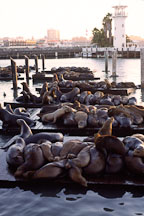 California sea lions at Pier 39's K dock. Zalophus californianus. San Francisco, California. - Photo #40