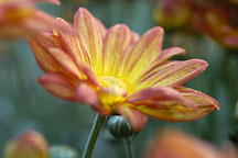 Spicy New Orleans (single & semi-double). Chrysanthemum (Dendranthema). - Photo #2140