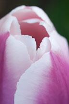 Tulip 'Ollioules', Tulipa. - Photo #3040