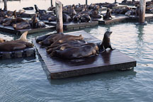 California sea lions at Pier 39's K dock. Zalophus californianus. San Francisco, California. - Photo #41