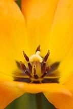 Tulip, 'Daydream'. Tulipa. - Photo #5741