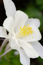 Columbine 'songbird dove', Aquilegia - Photo #3741