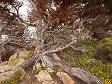 Gnarly cypress tree with orange red algae on branches. Point Lobos, California. - Photo #26941