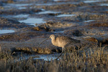 Long-billed curlew, Numenius americanus. Palo Alto Baylands Nature Preserve, California. - Photo #2541