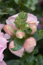 Antirrhinum majus. Sonnet Pink Snapdragon. - Photo #2341