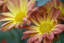 Spicy New Orleans (single & semi-double). Chrysanthemum (Dendranthema). - Photo #2141