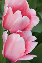 Tulip 'Salmon impression', Tulipa. - Photo #2941