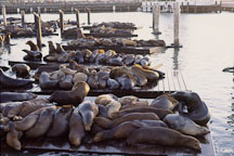 California sea lions at Pier 39's K dock. Zalophus californianus. San Francisco, California. - Photo #42