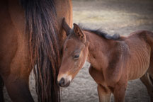 Foal and mare. ISU horse barn. - Photo #32342
