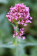 Centranthus ruber. Red valerian. - Photo #2143