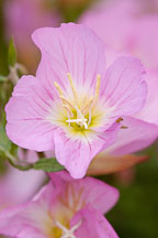 Showy evening primrose. - Photo #6143