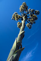 Giant flowering agave. California, USA. - Photo #1244