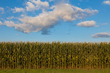 Corn field, Iowa. - Photo #33044