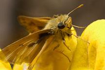 Fiery skipper, Hylephila phyleus. - Photo #4544
