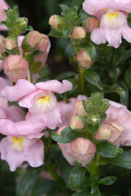 Antirrhinum majus. Sonnet Pink Snapdragon. - Photo #2344