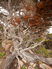Algae with beta carotene covering cypress tree. Point Lobos, California. - Photo #26945