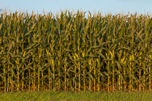 Close up of corn stalks. Nevada, Iowa.. Nevada, Iowa - Photo #33045