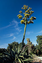 Giant flowering agave. California, USA. - Photo #1246