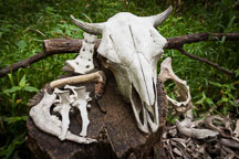 Cattle skull and bones. Living history farms, Iowa. - Photo #32946