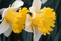 Narcissus 'Las Vegas', Daffodil. - Photo #3046