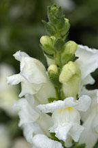Antirrhinum majus. Sonnet White Snapdragon. - Photo #2346