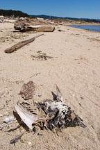 Carcass of dead bird. Pescadero state beach, California, USA. - Photo #4347